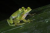 Fleischmann's Glass Frogs during amplexus in Guatemala