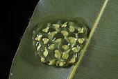 Fleischmann's Glass Frog egg mass under a leaf in Guatemala