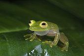 Fleischmann's Glass Frog male calling in Guatemala