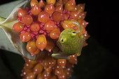 Fleischmann's Glass Frog on an Anthurium infructescence in Guatemala