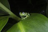 Montane Glass frog with blue eyes in Omar Torrijos N.P. - Panama