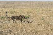 Cheetah (Acinonyx jubatus), cub 16/17 months old, learning to hunt, Masai-Mara Game Reserve, Kenya