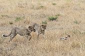 Cheetah (Acinonyx jubatus), cubs 16/17 months old, learning to hunt, Masai-Mara Game Reserve, Kenya