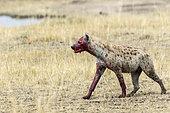 Hyène tachetée (Crocuta crocuta), couverte de sang après avoir manger sa proie, Réserve nationale du Masai-Mara, Kenya