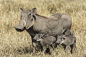 Warthog (Phaecochoerus aethiopicus), female and youngs, Masai-Mara game reserve, Kenya