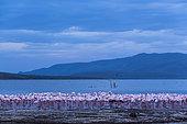 Dwarf Flamingos (Phoeniconaias minor) at dusk, Bogoria Lake Reserve, Kenya