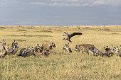 Hyènes tachetées (Crocuta crocuta) chassant les Vautours africain (Gyps africanus) d'une carcasse, Réserve nationale du Masai-Mara, Kenya