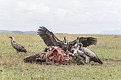 Griffon africain (Gyps africanus), sur une carcasse de Gnou, Réserve nationale du Masai-Mara, Kenya