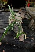 Lashed pig Mentawai. Siberut, Indonesia