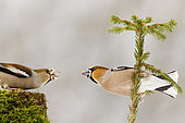 Male and Female Hawfinch (Coccothraustes coccothraustes) fight on a tree stump and on a shrub in winter, Alsace, France