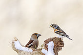 Hawfinch (Coccothraustes coccothraustes) vs. Brambling (Fringilla montifringilla) on a tree stump, Alsace, France