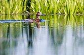 Female common Pochard (Aythya ferina) swimming in the Danube Delta, Romania