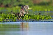 Purple Heron (Ardea purpurea) flapping its wings, Danube Delta, Romania