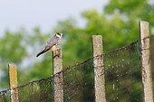 Eurasian Hobby (Falco Subbuteo) that captured a passerine in the Sinoe Lagoon, Romania