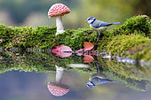 Blue Tit (Parus caeruleus) and Fly agarics (Amanita muscaria) on the water edge, Alsace, France