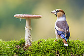 Male Hawfinch (Coccothraustes coccothraustes) and Fly agarics (Amanita muscaria), Alsace, France