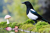 European Magpie (Pica pica) and Fly agarics (Amanita muscaria) on the water edge, Alsace, France