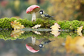 Great Tit (Parus major) and Fly agarics (Amanita muscaria) on the water edge Alsace, France