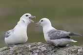Fulmar (Fulmarus glacialis) Fulmar idisplaying to each other, Shetland, Spring