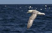 Fulmar (Fulmarus glacialis) Bird in flight above the sea, Shetland, Spring