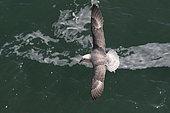 Fulmar (Fulmarus glacialis) Fulmar in flight, Shetland, Spring