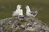 Fulmar (Fulmarus glacialis) Fulmar displaying to each other, Shetland, Spring