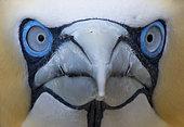 Gannet (Morus bassanus) Head details, Shetland