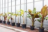 Banana trees in a greenhouse, spring, Pas de Calais, France