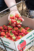 Strawberries 'Darselect' at the productor