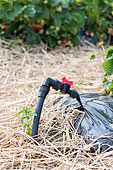 Watering system and mulching of a strawberry field, spring, Pas de Calais, France