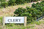 'Clery' strawberries, spring, Pas de Calais, France