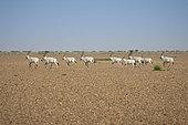 Group of running Arabian oryx (Oryx leucoryx), Najd Plateau, Saudi Arabia