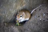 Golden spiny mouse (Gerbillus cheesmani) eating Arabian death stalker (Apisthobuthus pterygocercus), Saudi Arabia