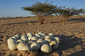 Eggs of African ostrich (Struthio camelus camelus), introduced substitute subspecies, Najd Plateau, Saudi Arabia