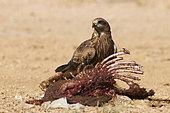 Black kite (Milvus migrans) on carrion, Najd Plateau, Saudi Arabia