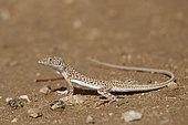 Snake-tailed fringe-toad lizard (Acanthodactylus opheodurus), Taif, Makkah, Saudi Arabia
