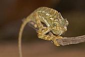 Common chameleon (Chamaeleo chamaeleon orientalis) on a branch, Taïf, Al-Shafa, Saudi Arabia