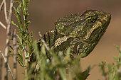 Portrait of Common chameleon (Chamaeleo chamaeleon orientalis), Taïf, Al-Shafa, Saudi Arabia