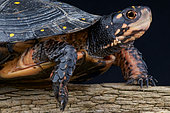 Spotted turtle (Clemmys guttata), Canada
