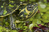 Yellow-bellied slider (Trachemys scripta scripta), United States of America