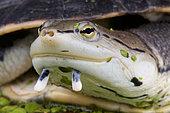 Portrait of Side-necked turtle (Phrynops hilarii), Brazil