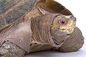 Giant Asian pond turtle (Heosemys grandis), Thailand