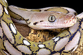 Portrait of Reticulated python (Malayopython reticulatus)