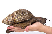 Giant West African snail (Archachatina marginata) on white background Cameroon