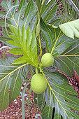 Fruits d'arbre à pain en Guadeloupe.