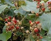 Rubus irenaeus - showing fruit in Autumn