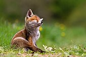 Red fox (Vulpes vulpes) young scratching, Grand Est, France