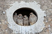 Kestrel (Falco tinnunculus) youth in an oculus, Greater East, France