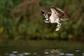 Osprey (Pandion haliaetus) in flight with its prey, Greater East, France