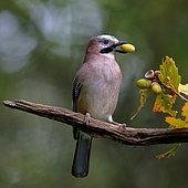 Jay (Garrulus glandarius) eating an acorn on a branch, Grand Est, France